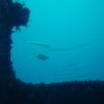 沈船中から見たバラクーダ