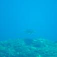 屋久島のウミガメ
