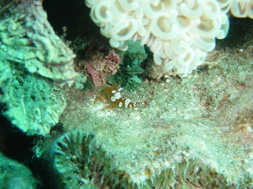 イソギンチャクモエビ+ナガレハナサンゴ(右上)