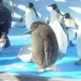 キングペンギンの子ども